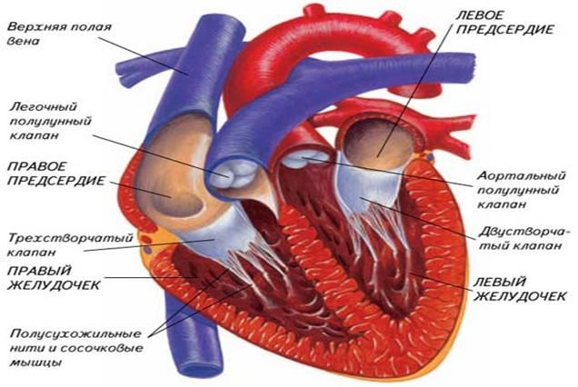 02.jpg. Клапаны сердца