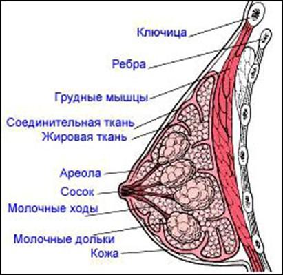 Возможно ли увеличить грудь с помощью гимнастики видео. крем увеличение гру