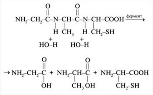 Схема гидролиза трипептида
