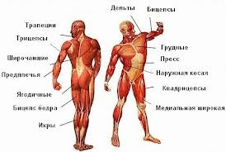 ОСНОВЫ ДЛЯ НОВИЧКОВ ИЛИ ТЕХ, КТО ВДРУГ НЕ ЗНАЕТ.Основные группы мышц: - Гру