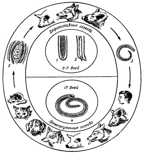 Схема развития трихинеллыСхема