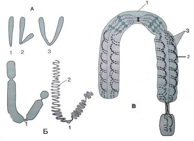 Функции хромосом: