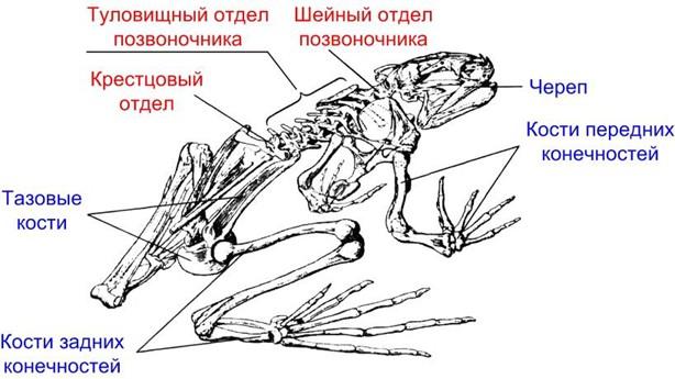 Скелет лягушки - 1