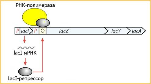 Ген-регулятор лактозного