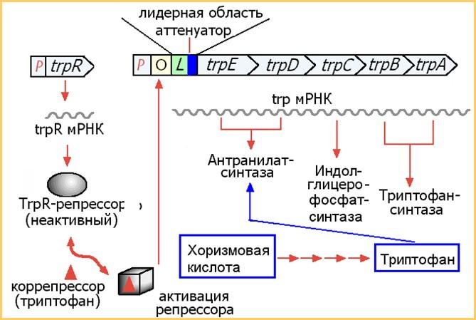 Схема регуляции триптофанового