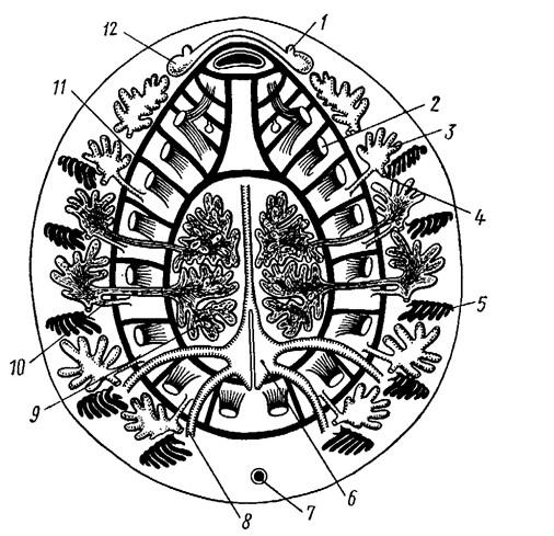 Схема организации Neopilina