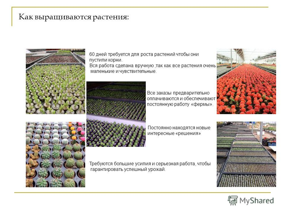 """Живой брелок """"Миникактус"""" или pet plant ,Pet Tree Slide_2"""
