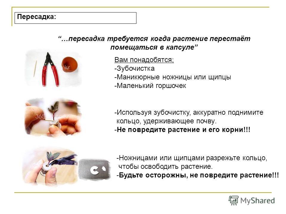 """Живой брелок """"Миникактус"""" или pet plant ,Pet Tree Slide_4"""