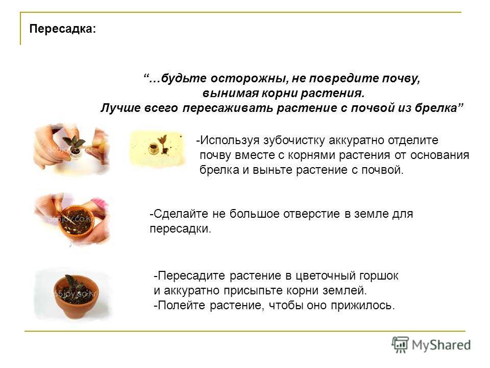 """Живой брелок """"Миникактус"""" или pet plant ,Pet Tree Slide_5"""