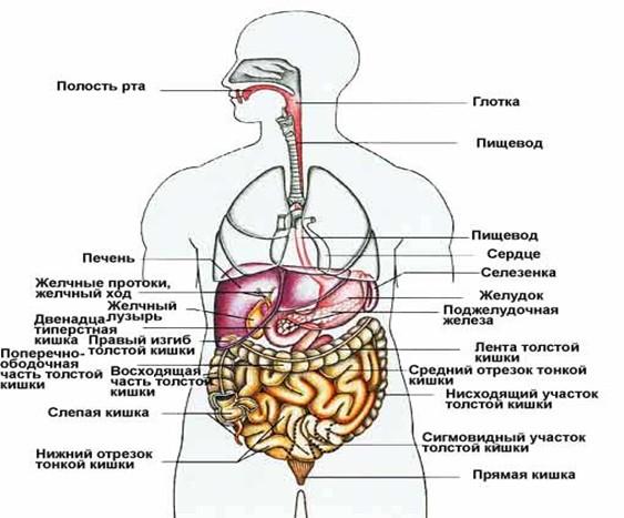 Общая схема пищеварительной