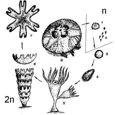 медузой. Жизненный цикл