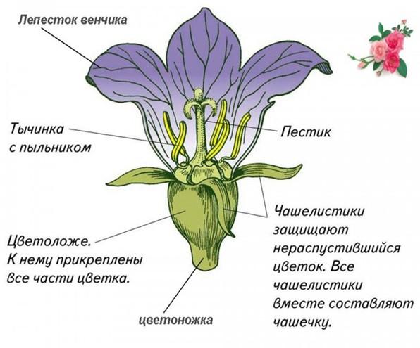 Биология. Цветок. Строение
