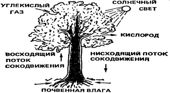 Строение дерева и схема его