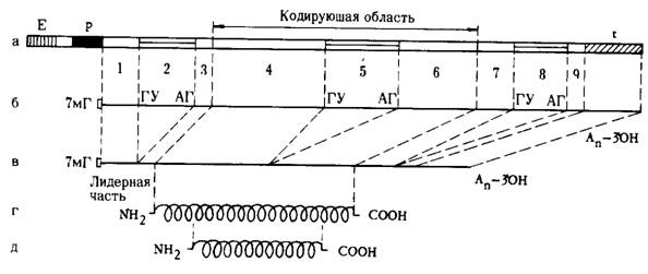 t—терминатор транскрипции)