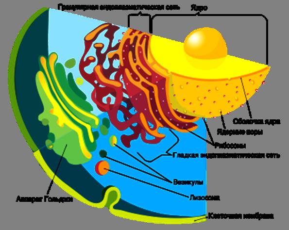 эукариотической клетки