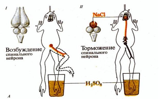 Схема опыта Сеченовского