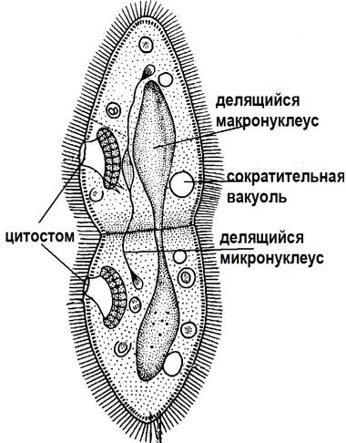 Деление инфузории-туфельки
