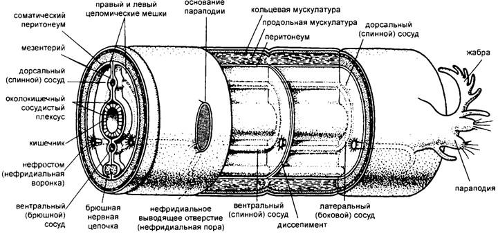 Схема строения сегмента