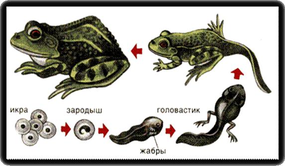Мои рисункиРазвитие лягушки