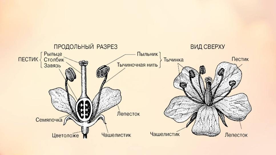 Схема строения цветка