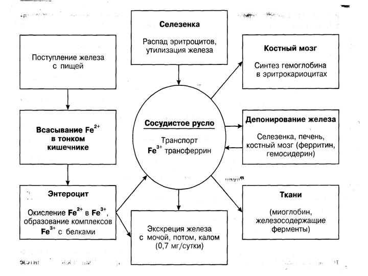 метаболизм железа