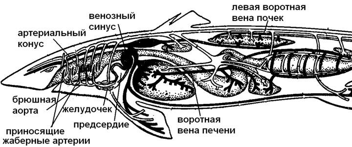 Схема кровеноснойсистемы акулы