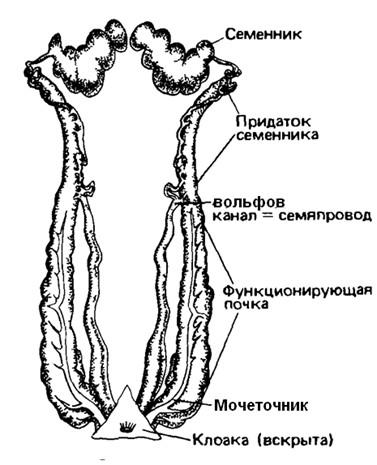 Схема мочеполовой системысамца