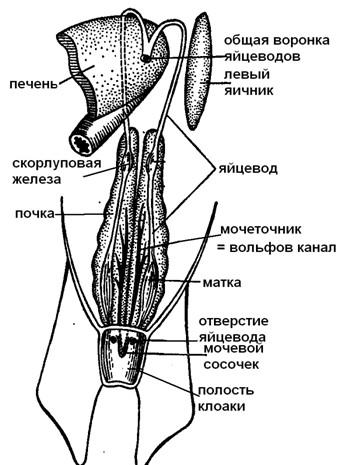 Схема мочеполовой системысамки
