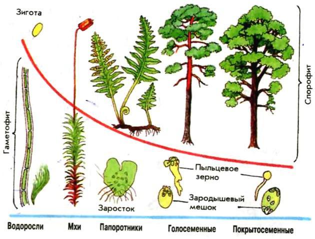 Схема поколений растений.