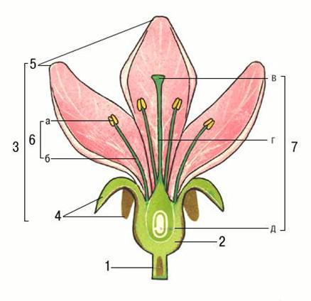 Схема строения цветка: 1