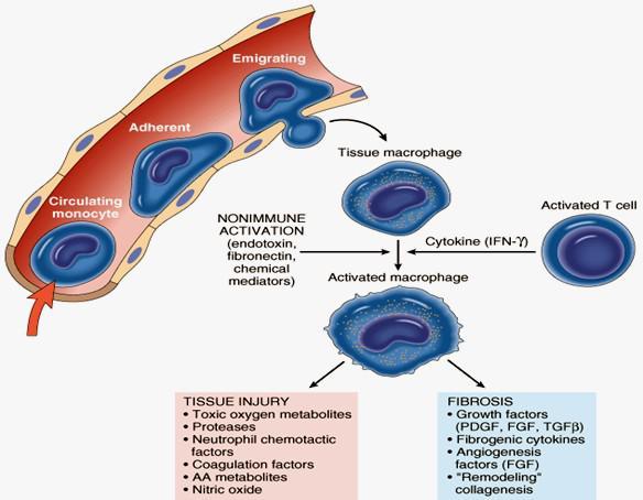 НЕИММУННАЯАКТИВАЦИЯ. Циркулирующиймоноцит. Роль активированных макрофагов