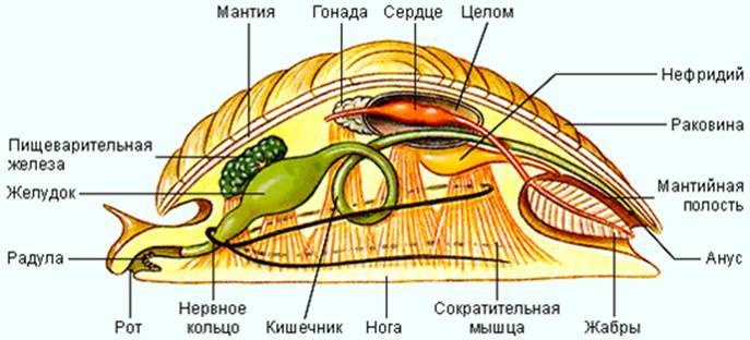 моллюсковфото